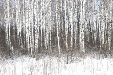 black-white-birch-trees-birch-bark-birch-forest-other-birches-winter-snow-black-white-birch-trees-118882965 (1).jpg